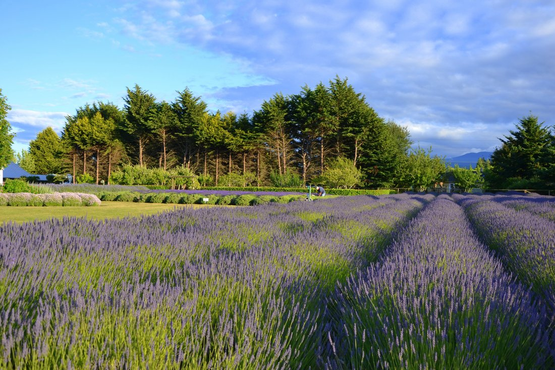 Sequim Lavender Festival Farms