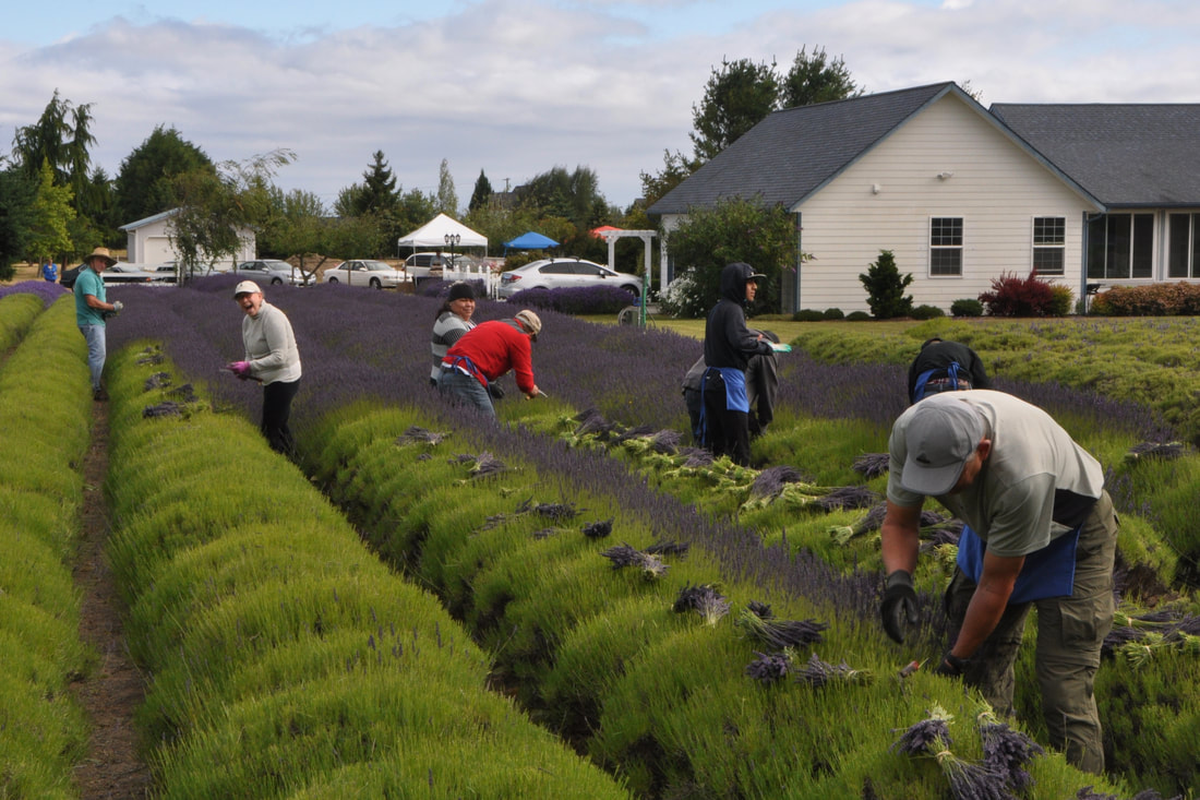 Sequim's Favorite Lavender Farm